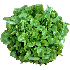 Salade verte feuilles de chêne